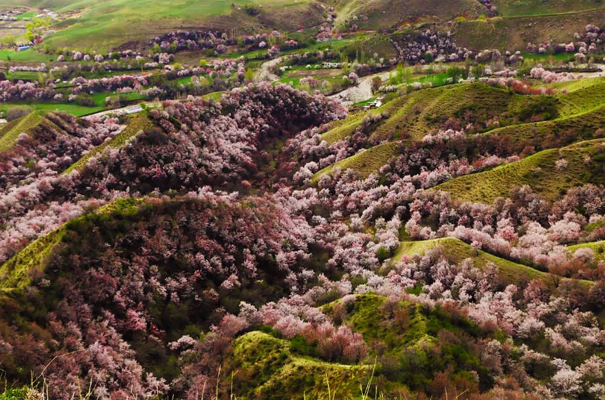 China Apricot Valley